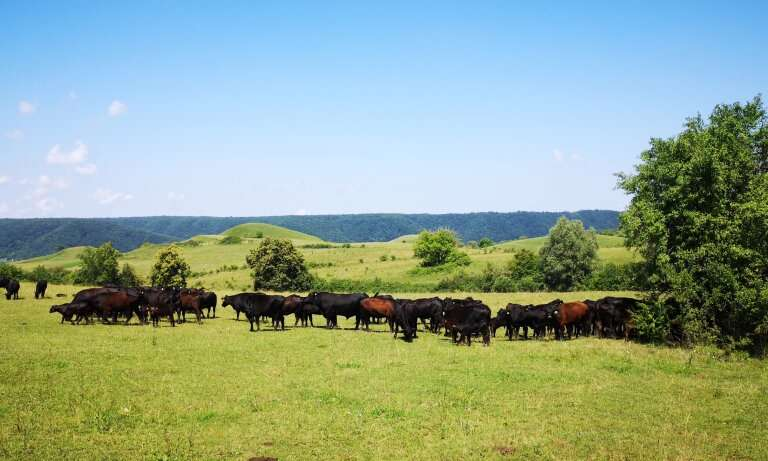 Cattle grazing supports biodiversity in Romania