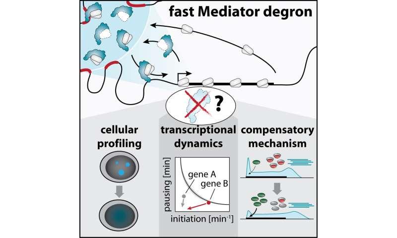 CeMM study reveals how a master regulator of gene transcription operates