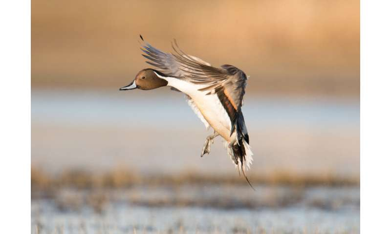 Changes in cropping methods, climate decoy pintail ducks into an ecological trap