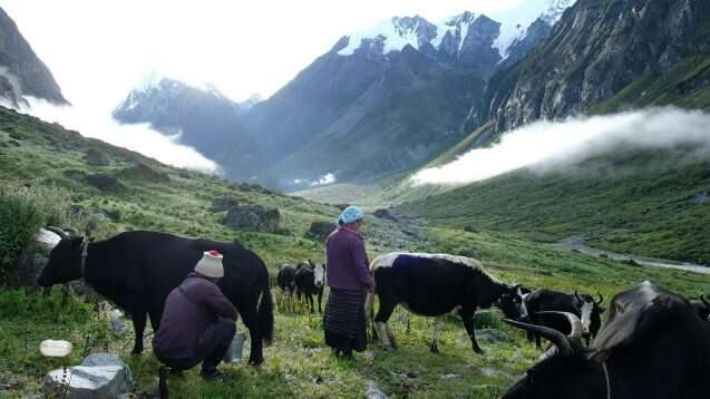 Cheesemaking in Nepal under threat unless pastoralist traditions are revived