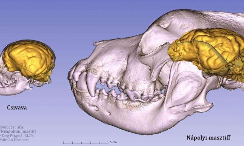 Comparing canine brains using 3D-endocast modelling
