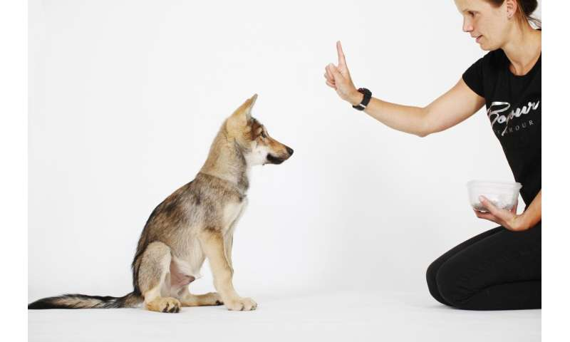 Comparing the controllability of young hand-raised wolves and dogs