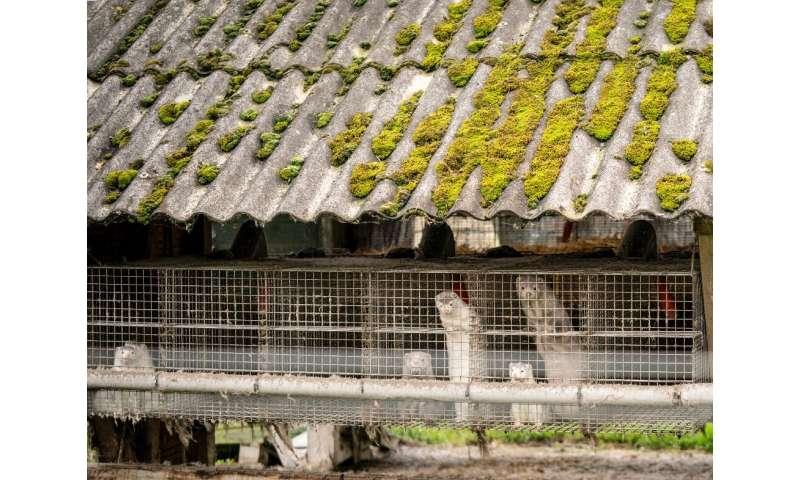 Denmark will cull the entire 15 million mink population