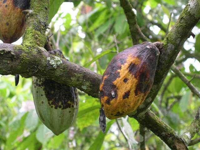 El descubrimiento de una pista química puede llevar a resolver el misterio de la pudrición de la mazorca negra del cacao