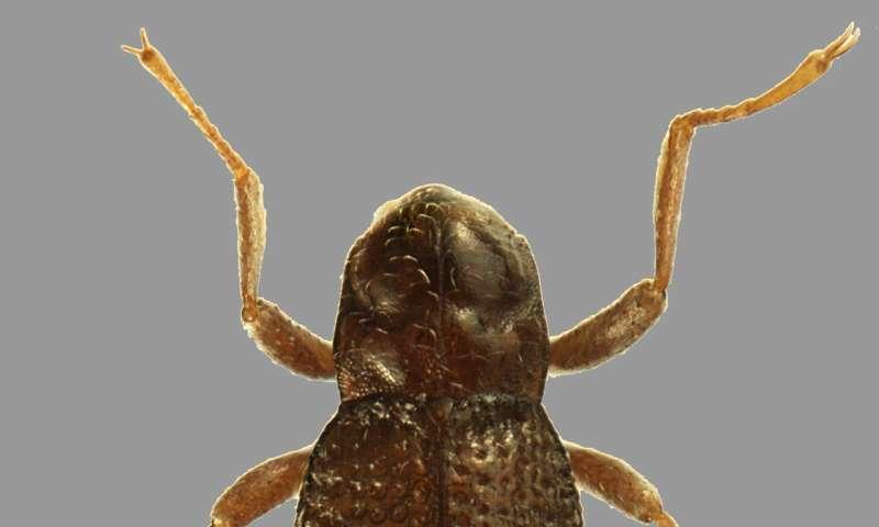 Disjunct distribution across the equator—a new riffle beetle from Kyushu, Japan