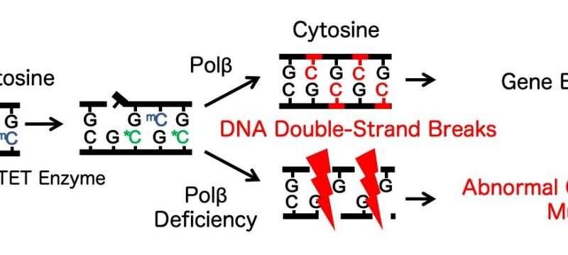 DNA repair supports brain cognitive development