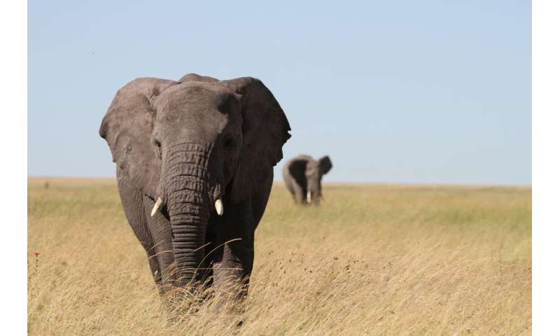 Elephant genetics guide conservation