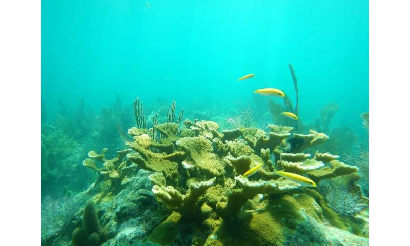 Elkhorn coral actively fighting off diseases on reef, study finds