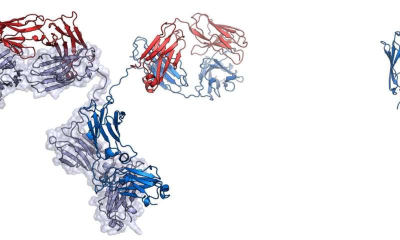 Engineered 'nanobodies' block SARS-coV-2 from infecting human cells