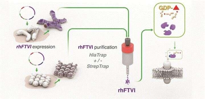 Enzyme biofactories to enhance cord blood transplants