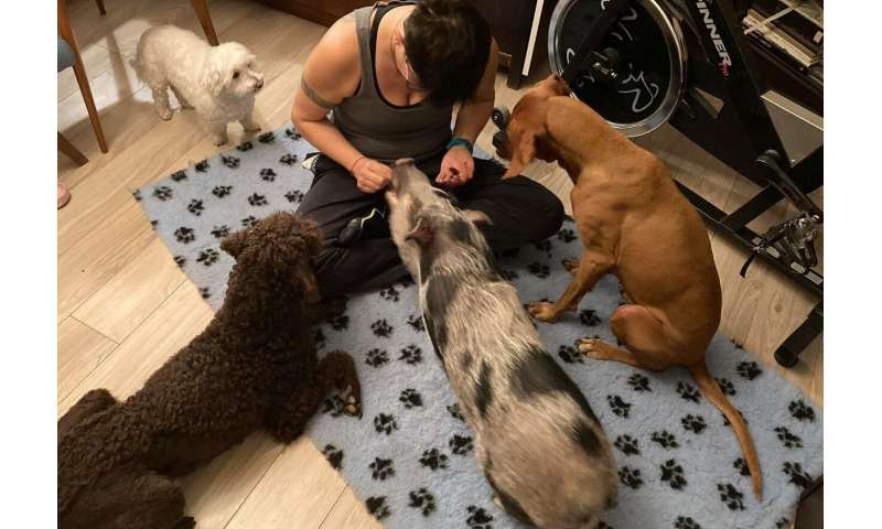 Family pigs prefer their owner's company as dogs do, but they might not like strangers