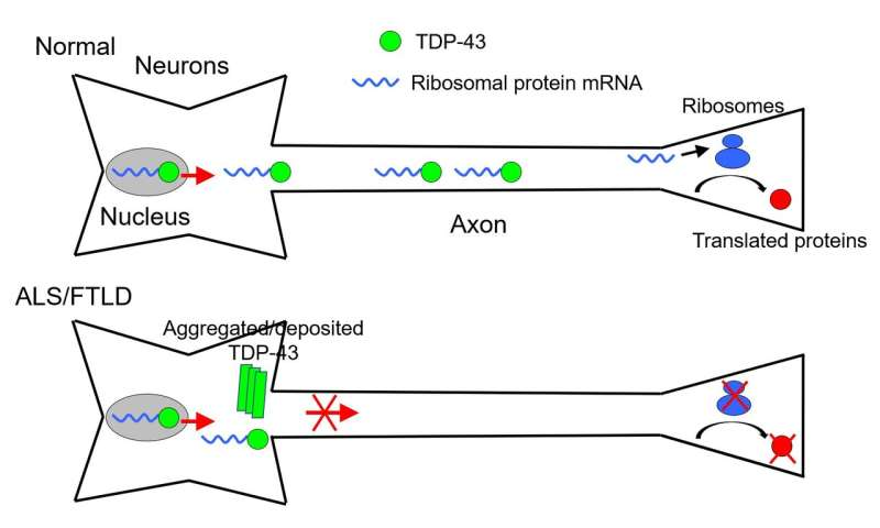 Faulty transportation of messenger RNA is the culprit in ALS