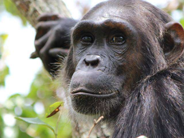 Female chimps with powerful moms are less likely to leave home