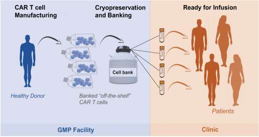 Fighting cancer with rejection-resistant, 'off-the-shelf' therapeutic T cells