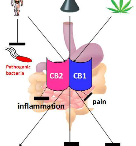 Fighting intestinal infections with the body's own endocannabinoids