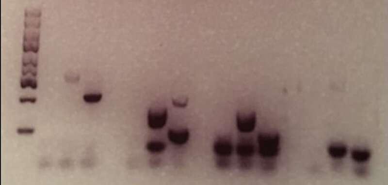 Genetic barcodes can ensure authentic DNA fingerprints