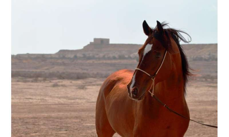Genetic study of Arabian horses challenges some common beliefs about the ancient breed