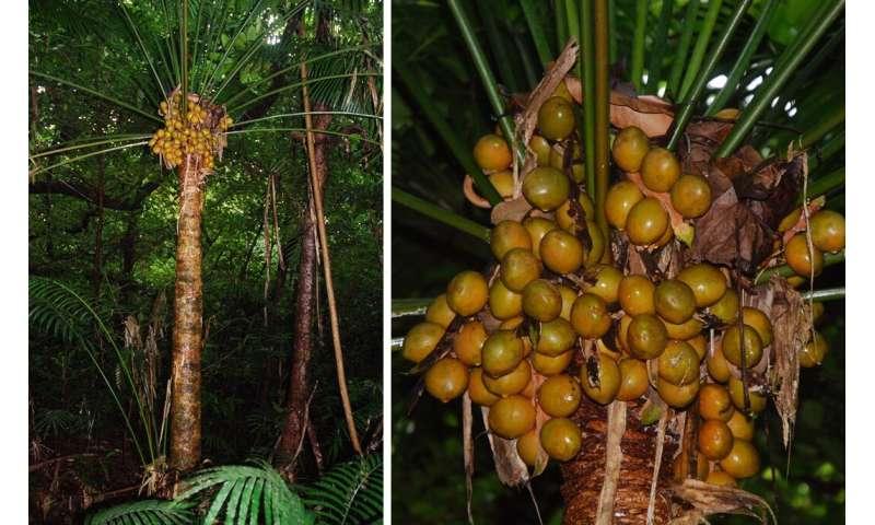 Un estudio de Guam avanza en la investigación de las cícadas como ecotoxina