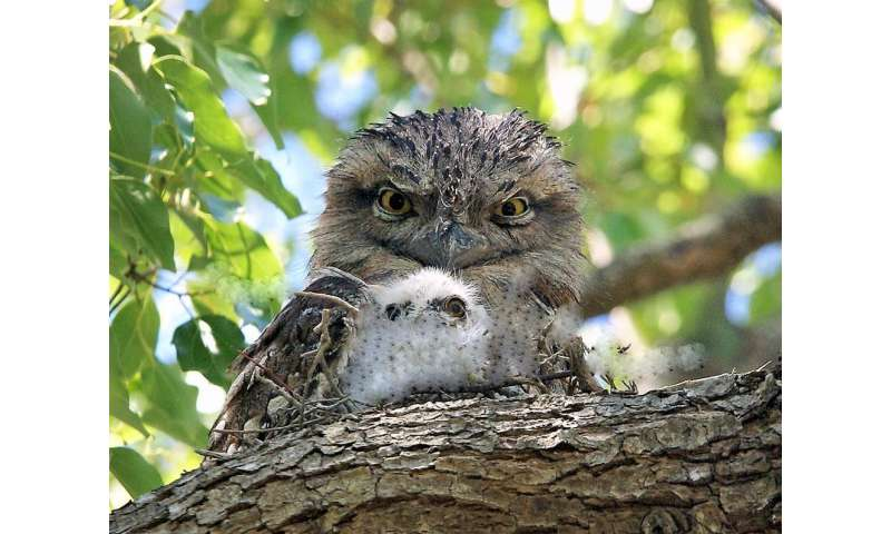 Hard to spot, but worth looking out for: 8 surprising tawny frogmouth facts