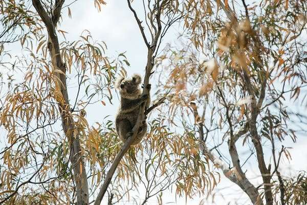Heat-detecting drones are a cheaper, more efficient way to find koalas