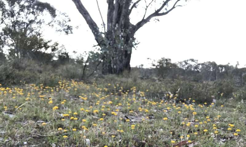 How drought-breaking rains transformed these critically endangered woodlands into a flower-filled vista