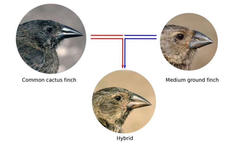How gene flow between species influences the evolution of Darwin's finches