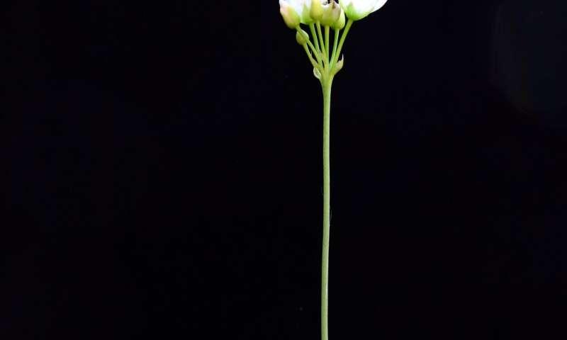 How Venus flytraps snap