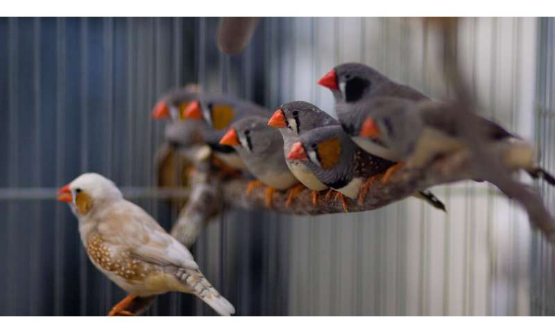 How zebra finches learn to sing
