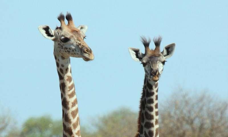 Improving success of giraffe translocations