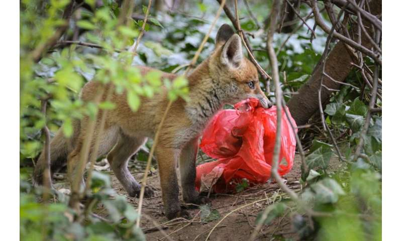 Individual red foxes prefer different foods in the city and the countryside