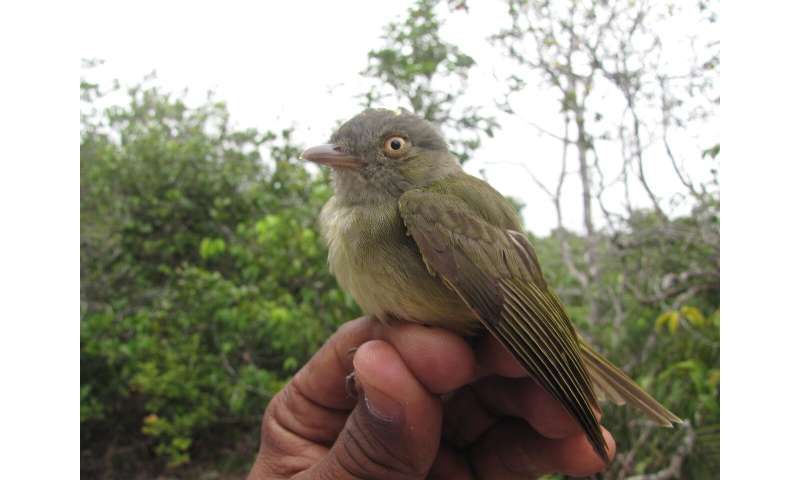 In the Amazon's 'sand forests,' birds play by different evolutionary rules