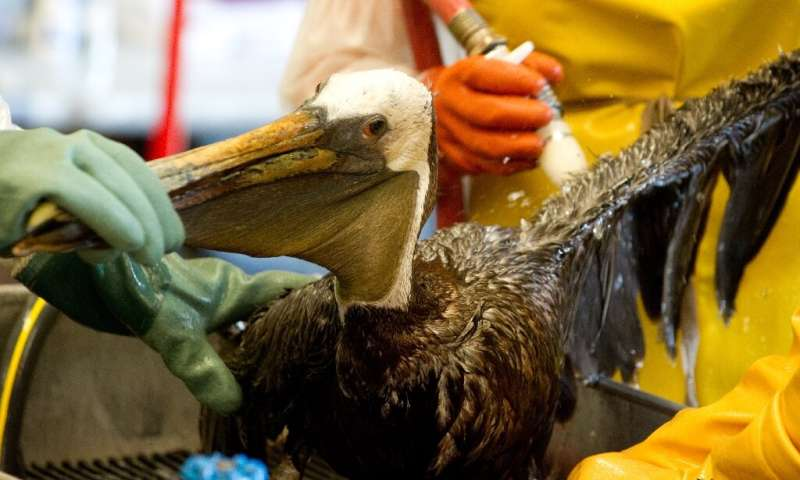 In this file photo taken on June 08, 2010, veterinarians clean an oil-covered brown pelican found off the Louisiana coast and af