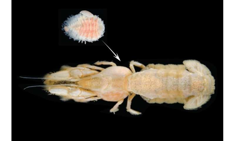 Invasive shrimp-sucking parasite continues northward Pacific expansion