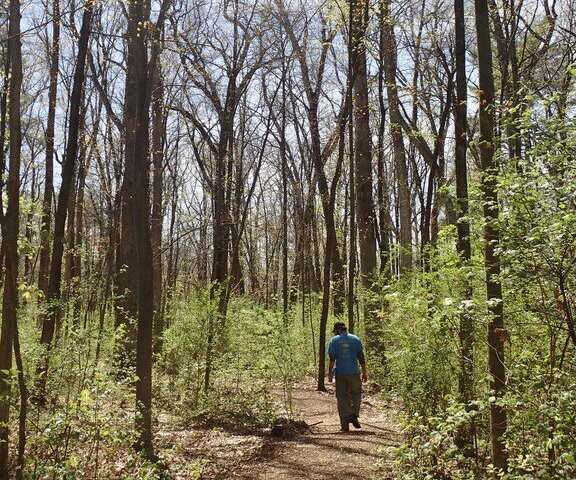 Invasive shrubs in Northeast forests grow leaves earlier and keep them longer
