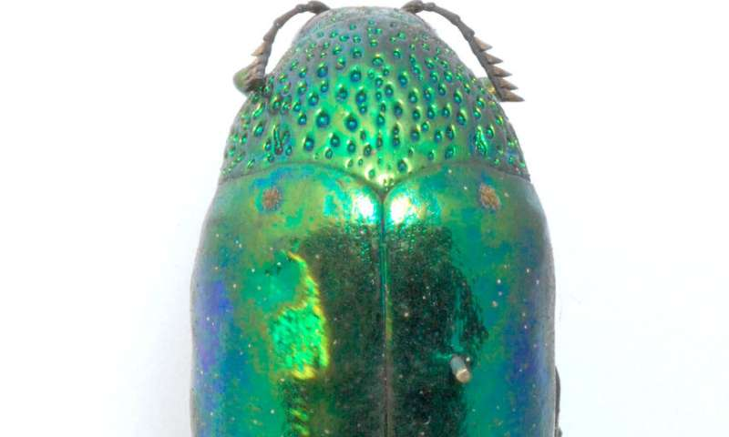 Jewel beetles' sparkle helps them hide in plain sight