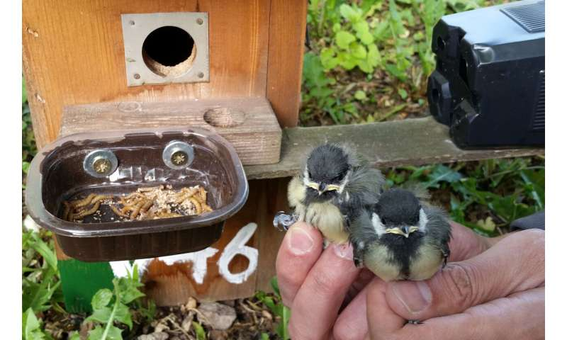 Lack of insects in cities limits breeding success of urban birds
