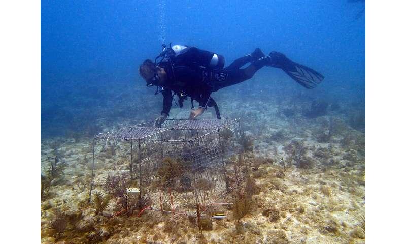 Large 'herbivores of the sea' help keep coral reefs healthy
