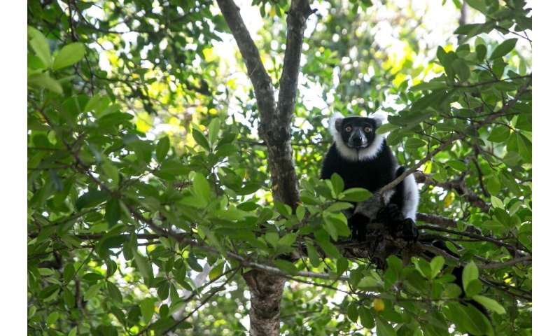 Lemurs are hunted for food and the illegal pet trade, while their forests are destroyed