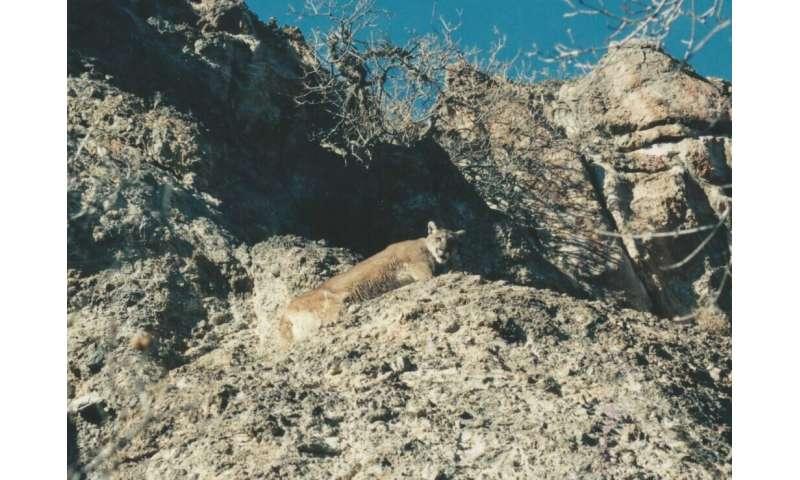 Light pollution alters predator-prey interactions between cougars and mule deer in western US