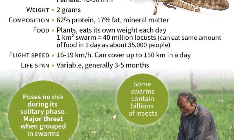 Los enjambres de langostas destruyen los cultivos de Pakistán