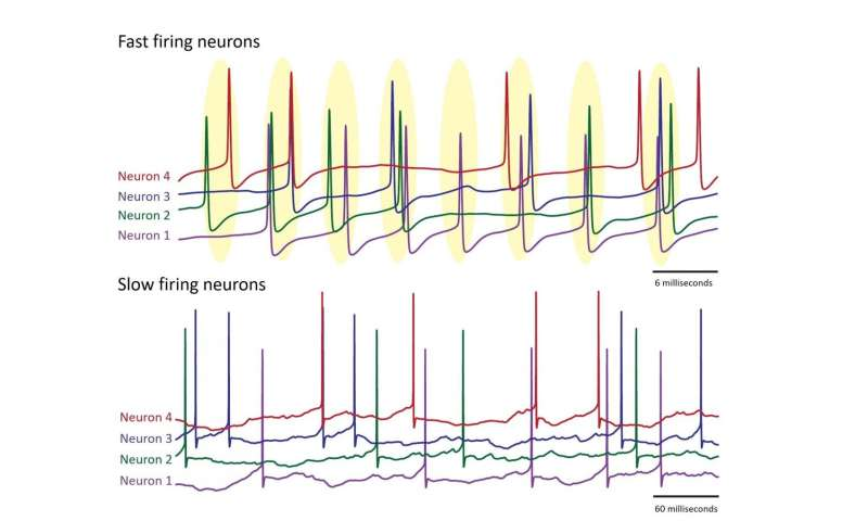 Model shows that the speed neurons fire impacts their ability to synchronize