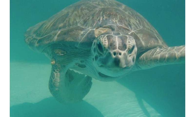 Most rehabilitating sea turtles with infectious tumors don't survive