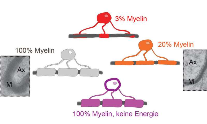 Myelin optimizes information processing in the brain