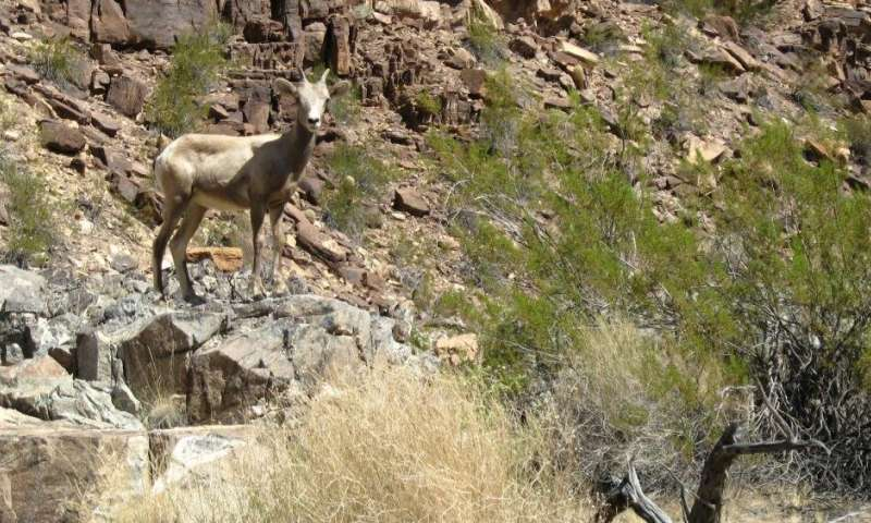 Native desert bighorn sheep in ecologically intact areas are less vulnerable to climate change