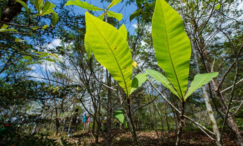 Native trees thrive in teak plantations and may protect the Panama Canal
