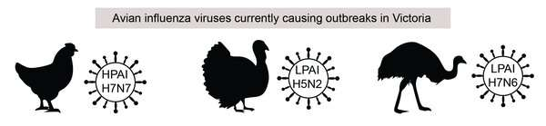 Nearly a half-million poultry deaths: there are 3 avian influenza outbreaks in Victoria. Should we be worried?