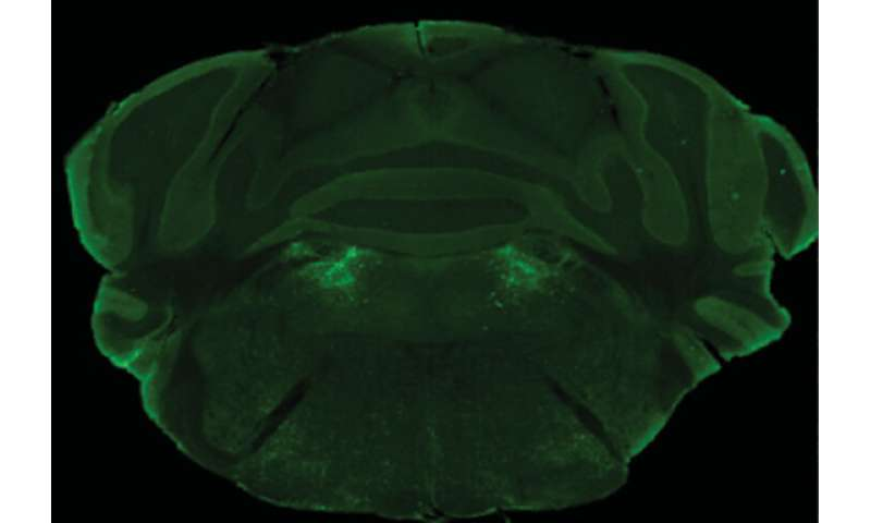 Neurons in the brainstem entice mice to keep snacking
