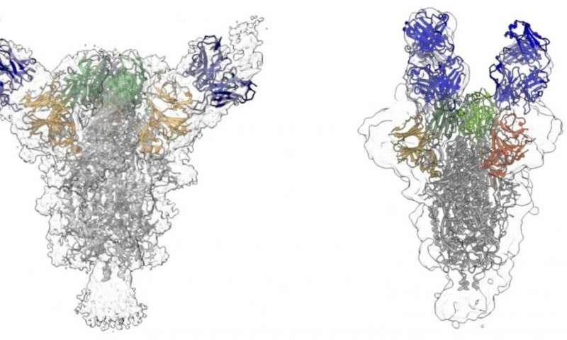 Neutralizing antibodies isolated from COVID-19 patients may suppress virus