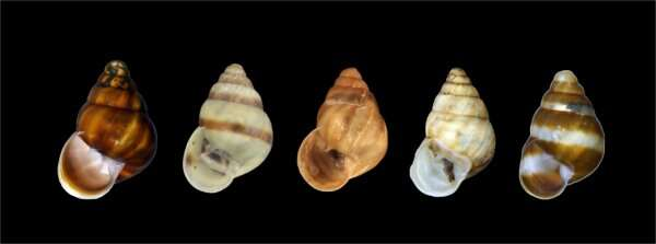 New native Hawaiian land snail species discovered, first in 60 years