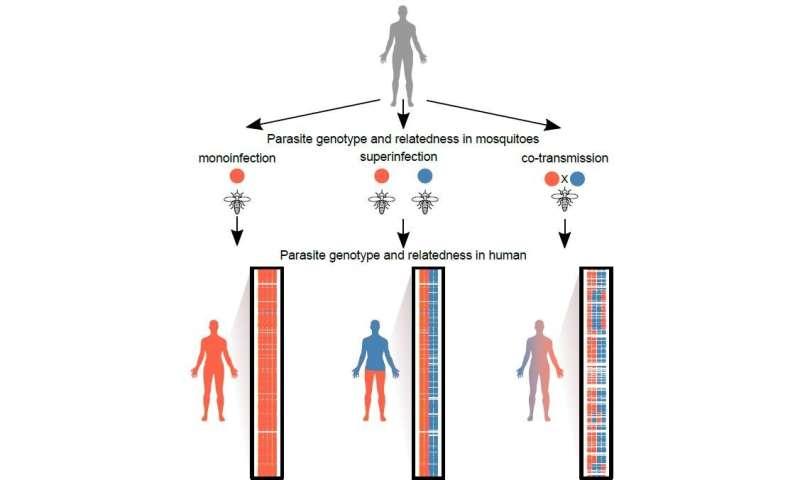 New study reveals the origin of complex malaria infections